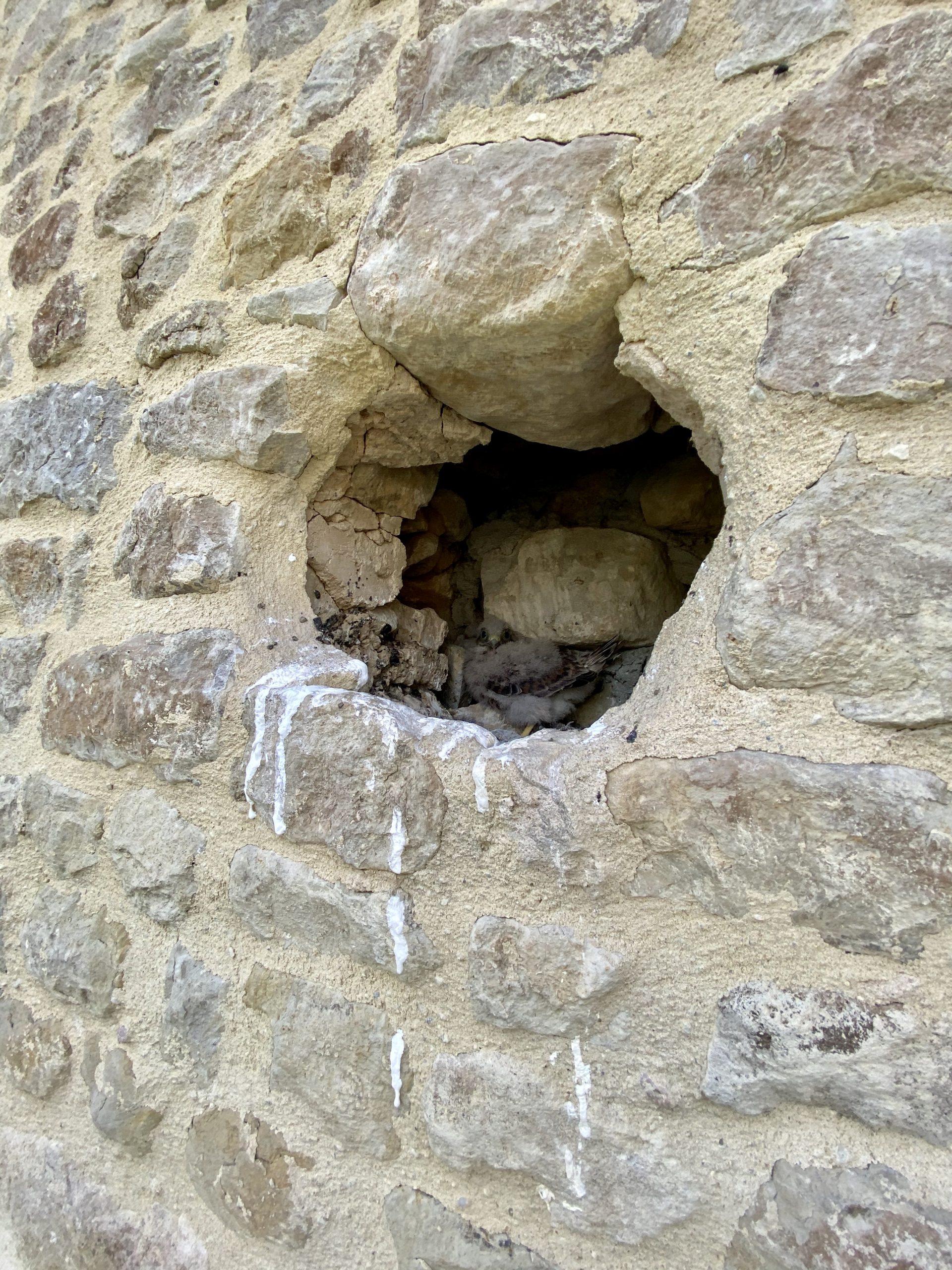 Deux fauconneaux sont nés au Domaine de Cussy