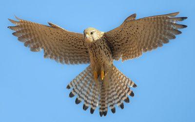 Naissance de deux fauconneaux au Domaine